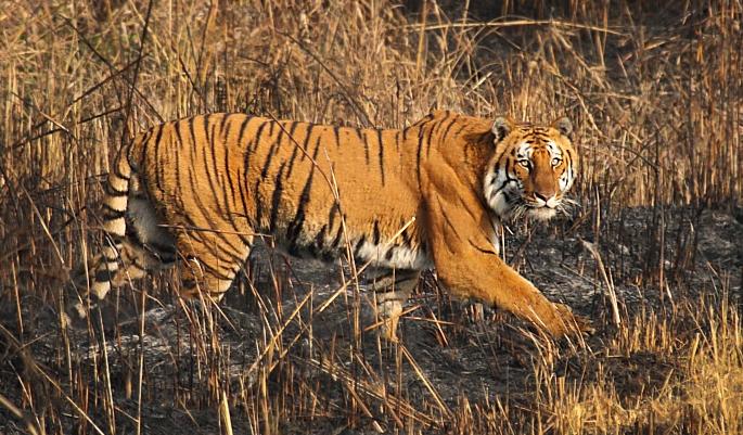 corbett-tiger