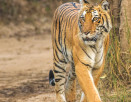 Tiger Sighted in Corbett National Park
