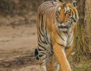 Tiger Monitoring Software to be Launched in Corbett
